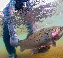Releasing a Large Trout into South Platte River